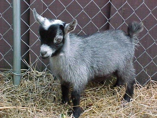 Pygmy Goats Sekelsky Pygmy Goat Cute Goats Animals