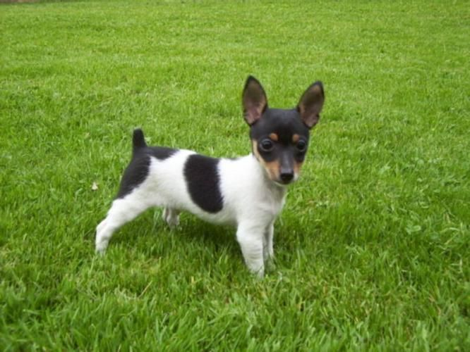 Toy Rat Terrier Toy Fox Terrier Puppy For Sale In Terrace