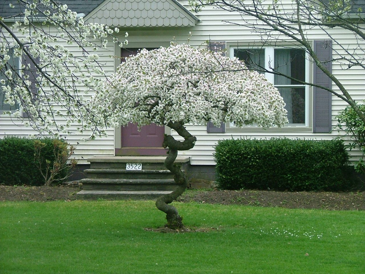 Snow Fountains Weeping Cherry This Particular Tree Didn T Know Which Direction To Grow Small Gardens Outdoor Gardens Trees To Plant