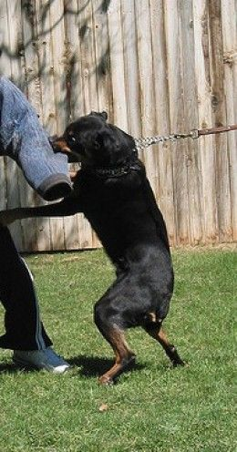 5 Best Personal Protection Dog Breeds Dog Breeds Protection Dog