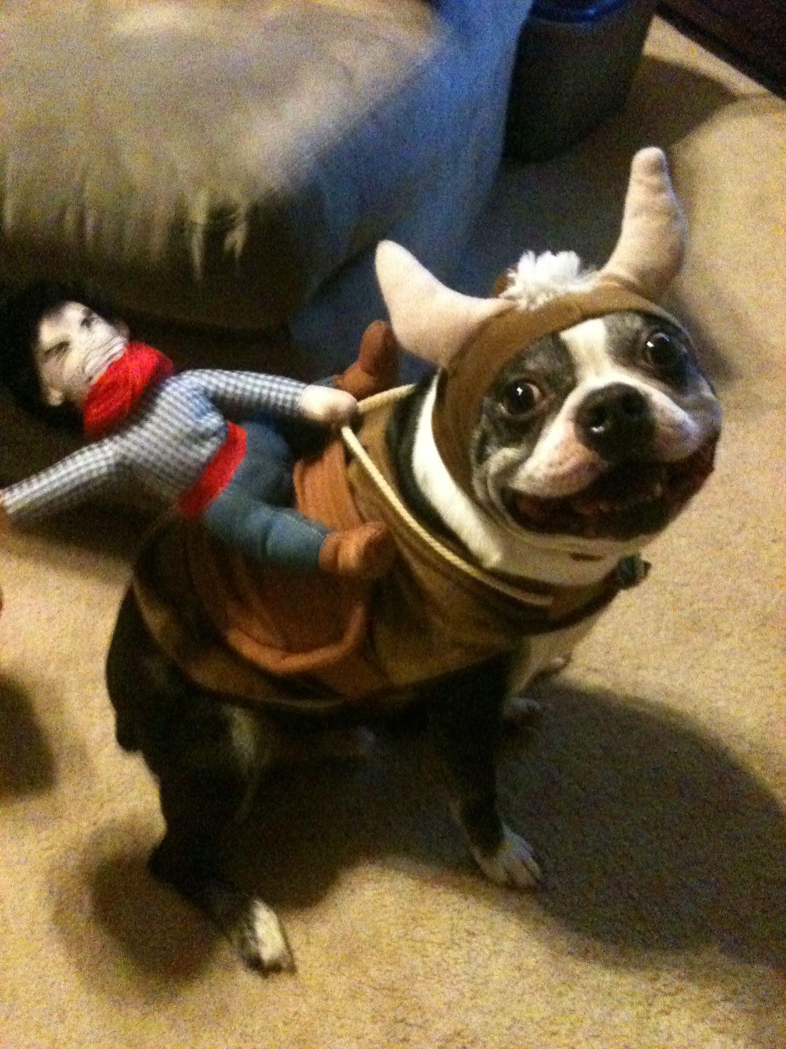 Boston Terrier Halloween Costume | Pets | Pinterest | Boston ...