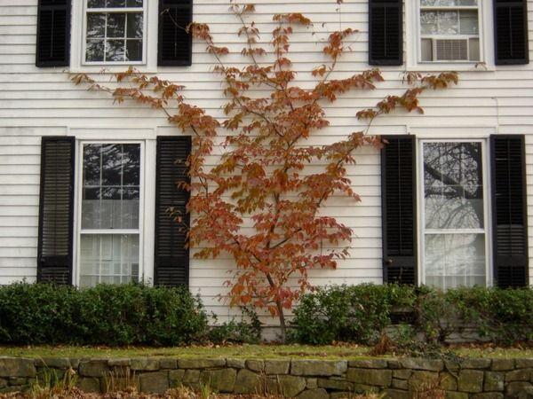 Espalier Japanese Maple Little Garden Garden Design Tree Pruning
