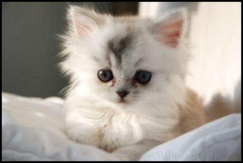 Cute Cats Ever Cute White Kitten Picture Very Cute Puppy Cute