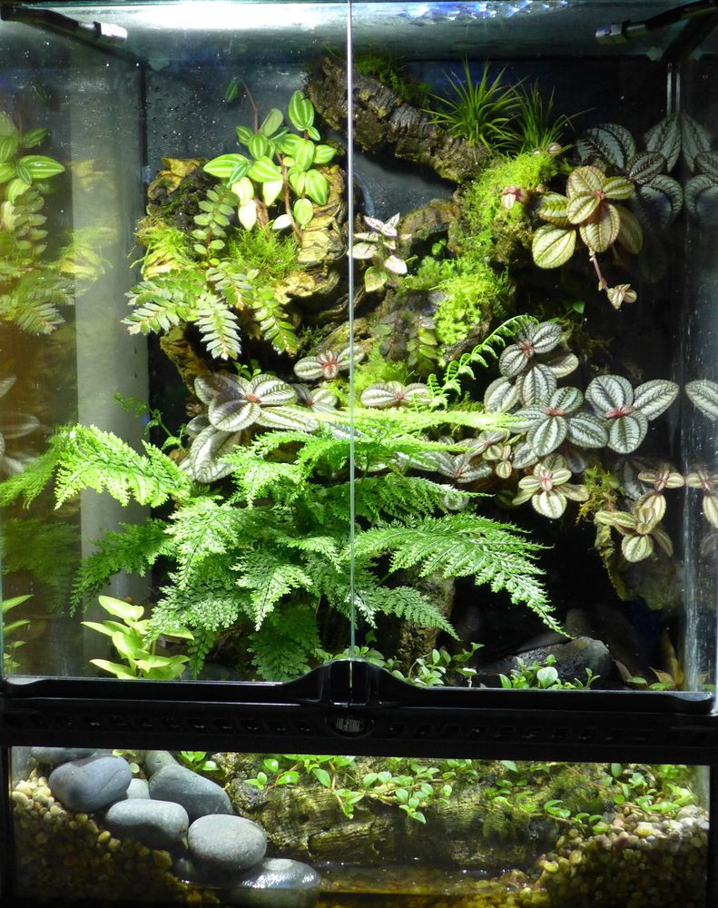 Bunch umbrella fern live tropical plant for vivarium terrarium frog