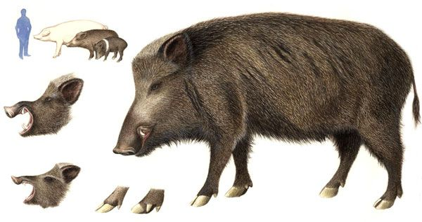 Hawaii is infested with wild boars  | Art Reference: ANIMALS