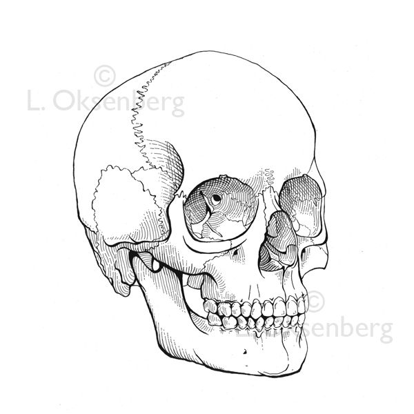 Skull Line Drawing Google Search Sugar Skull Drawing Skull Drawing Skull