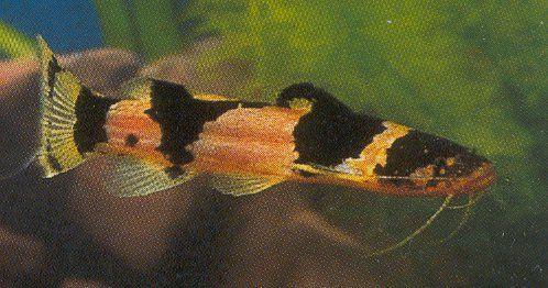 South American Bumblebee Catfish Profil Information Goodmorning Catfish Tank Catfish Fishing Catfish For Sale