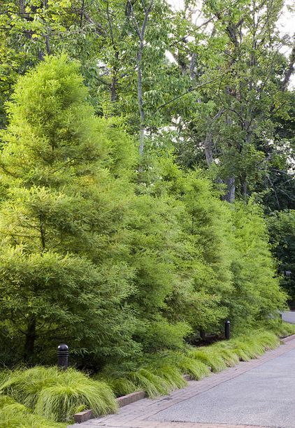 Great Design Plant: Bald Cypress Enjoy this beautiful tree's feathery foilage, fall color and tolerance of wet and dry soils