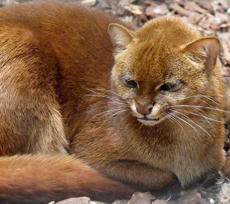 The Jaguarundi, also called Eyra Cat, is a smallsized