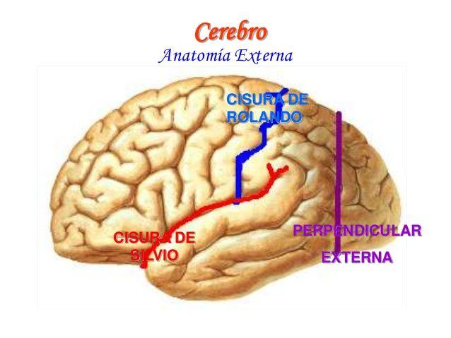 Resultado De Imagen Para Cisura De Rolando Silvio Y Perpendicular Notas De Enfermeria Notas Enfermeria