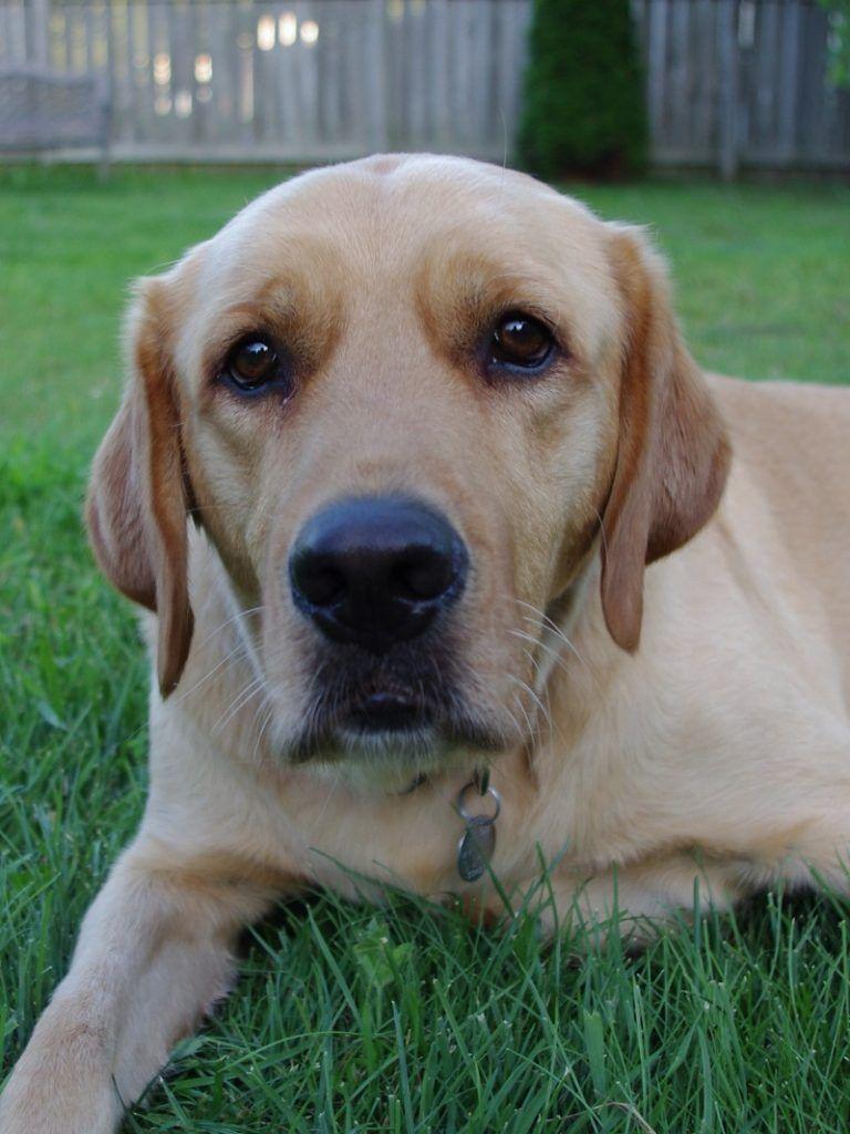 Goldador Labrador And Golden Retriever Mix Golden Retriever