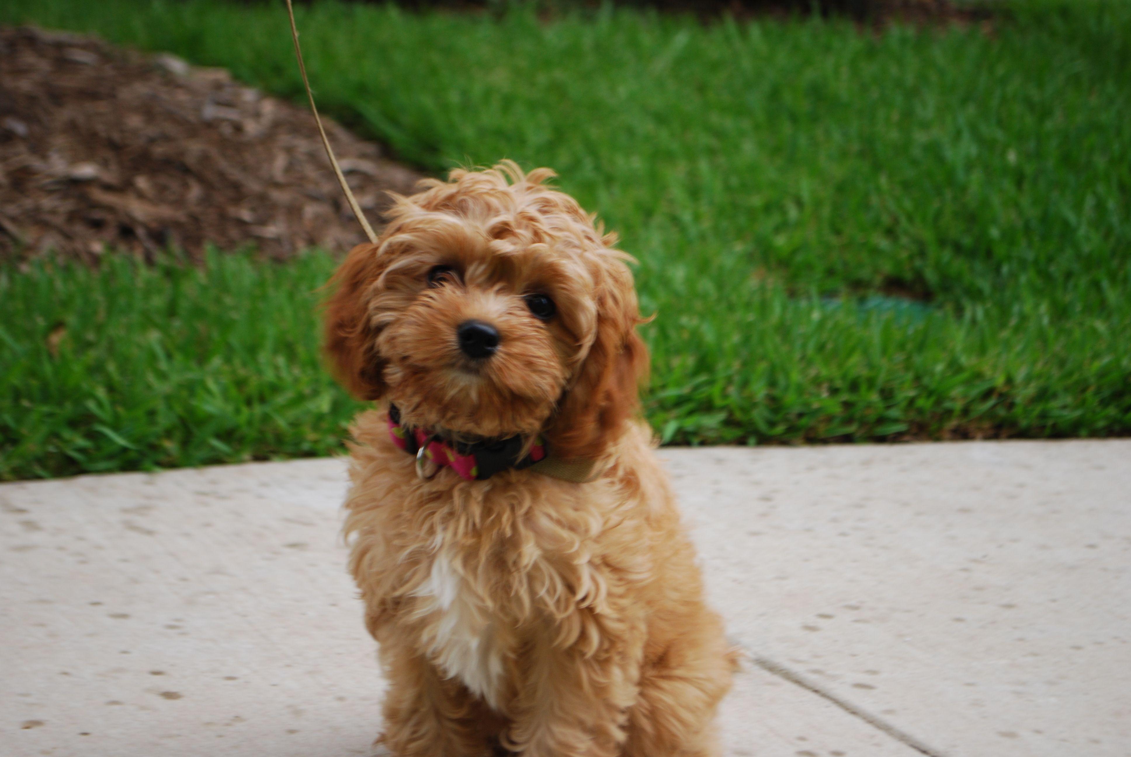 Meet Piper, our Cavapoo puppy! Cavapoo puppies, Cavapoo