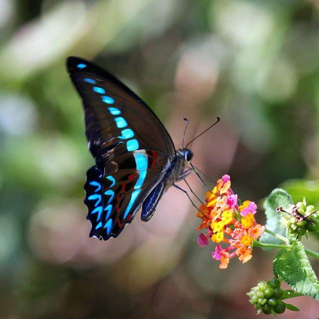 Graphium milon #nature #wildlife #insect #butterfly #butterflies #ubterfly #butterflyworld #hd_butterfly #igclub_butterfly #kings_insects #butterfliesofbabulnp #ayoketamannasional #tnbabul #wildlifephotography #canon_photos #macrophotography #instagramers by kamajayashagir
