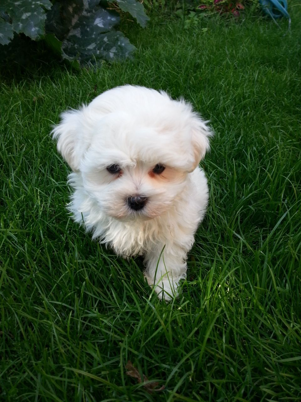 Cute Small Puppies Cute And Small Maltese Puppy Hinckley Cute Puppies Cute Animals Maltese Puppy