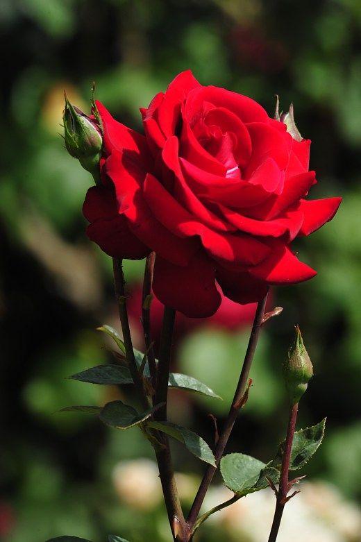 Gambar Bunga Ros : gambar, bunga, Gambar, Bunga, [Flowers, Gardening, Ideas], Tags:, Matahari, Mawar, Tulip, Bunga,, Musim, Semi,