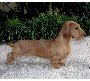 Wire haired dachshund westminster 2015