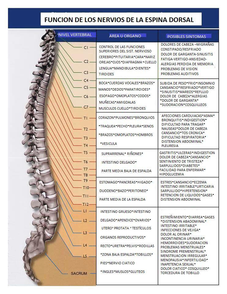 Funcion De Los Nervios De La Espina Dorsal