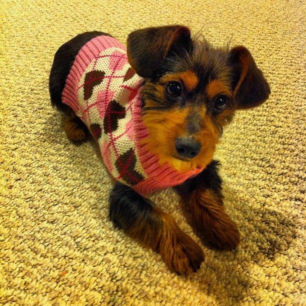 Josie Loves Her Sweater Puppy Josie Dogstagram Dorkie Yorkie