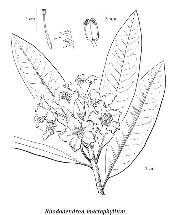 Rhododendron Macrophyllum Wa State Flower