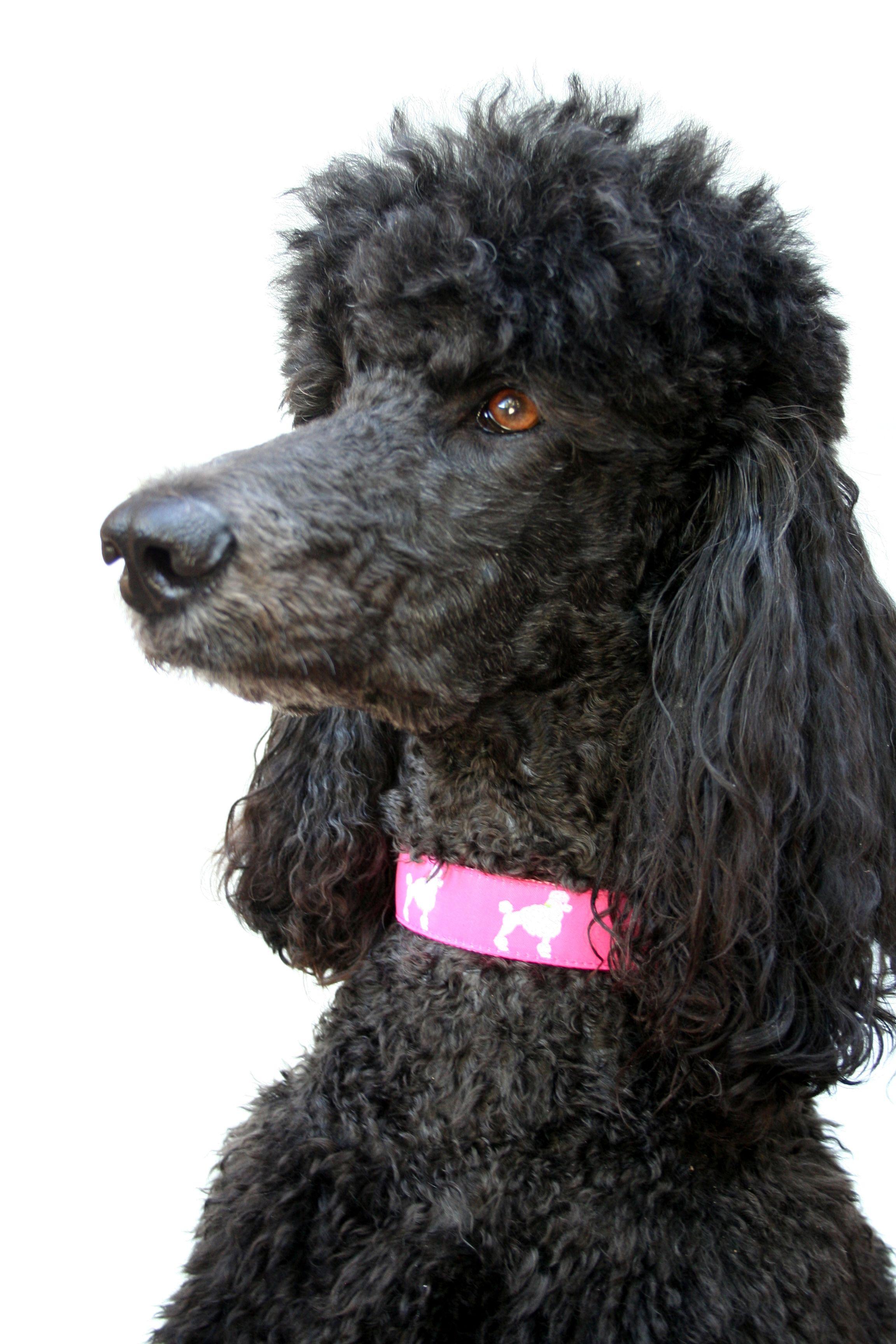 Darla Modeling Her Pink Poodle Dog Collar Pink Dog Collars