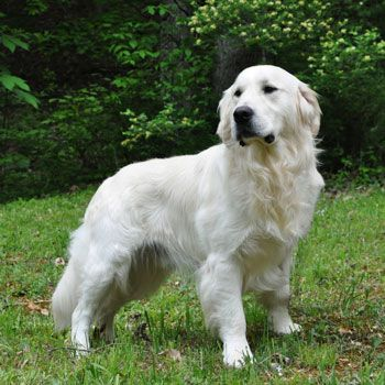 Pin By Mary Barter On White Goldens Dogs Golden Retriever White Retriever Golden Retriever White