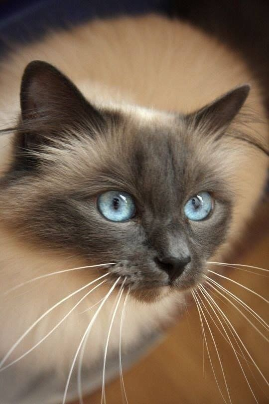 Pin By Penelope Alvarez On Cats Siamese Cats Gorgeous Cats Cats And Kittens