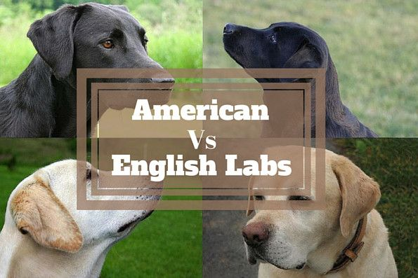 You will almost certainly have come across the terms, but what's the difference between American and English Labradors? Is there one?