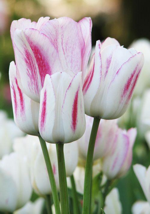 Tulip Candy Club Quality Flower Bulbs Youtulip Co Uk Bulb Flowers Beautiful Flowers Tulips Flowers