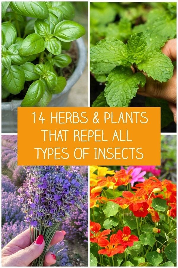 14 Herbs & Plants That Repel All Types Of Insects #mosquitoplants