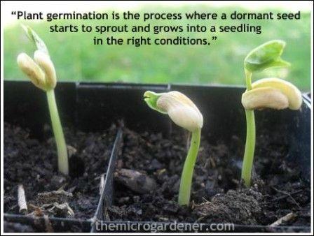 Seed germination definition   The Micro Gardener   Gardening ...