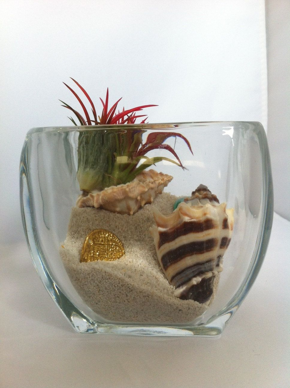 Air Plants Gold Coast Terrarium With Tiger Conch Magnified Thick