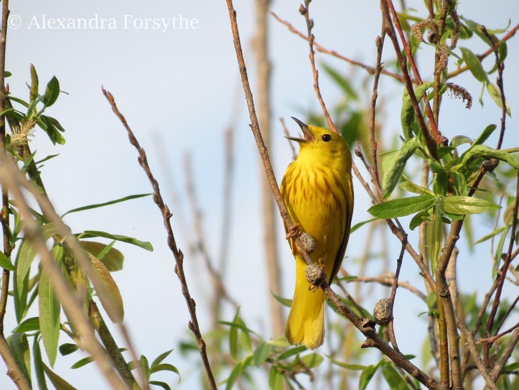 Bird · Guide To Backyard Birds Of Indiana