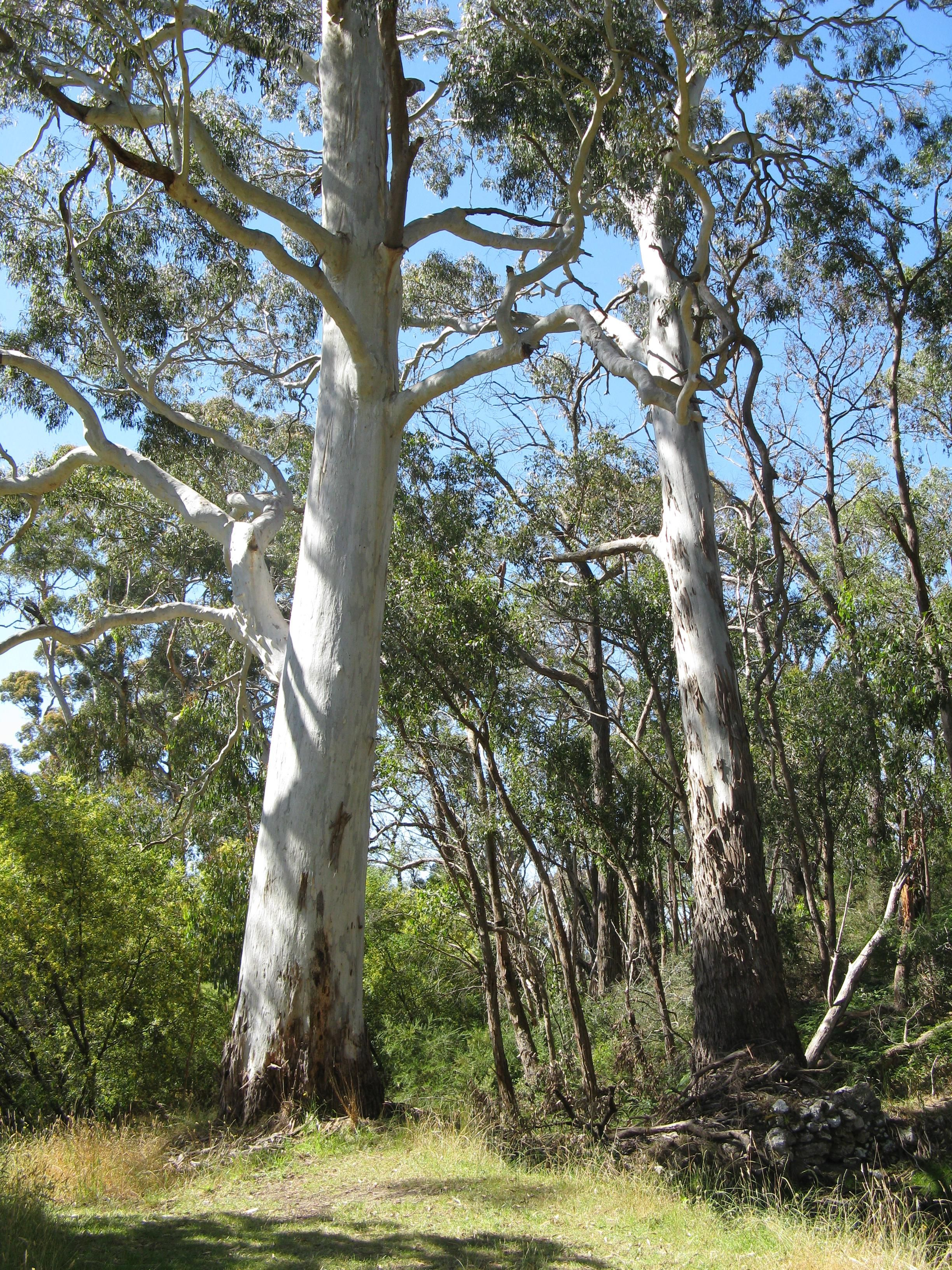White/ ghost gum trees Landscape, Tree forest, Painting