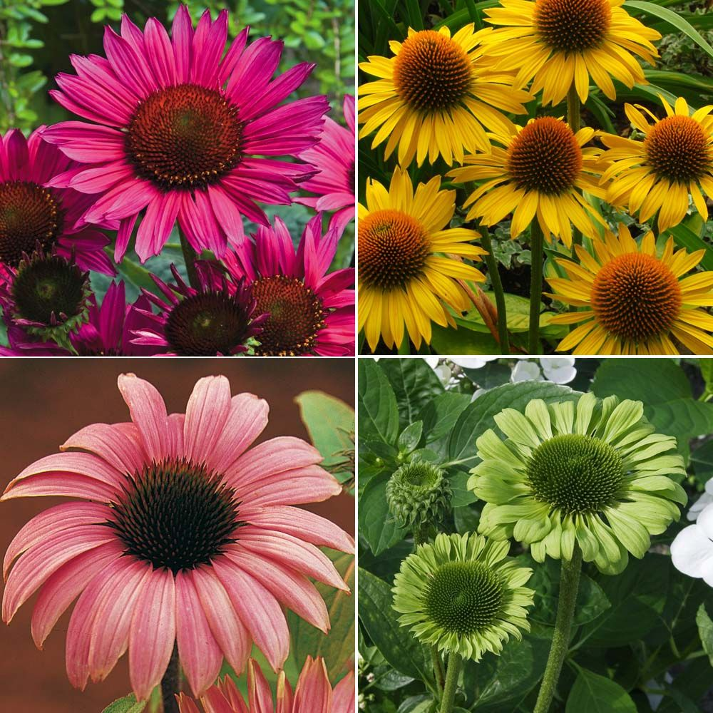 Echinacea CollectionConeflower (With images) Beautiful