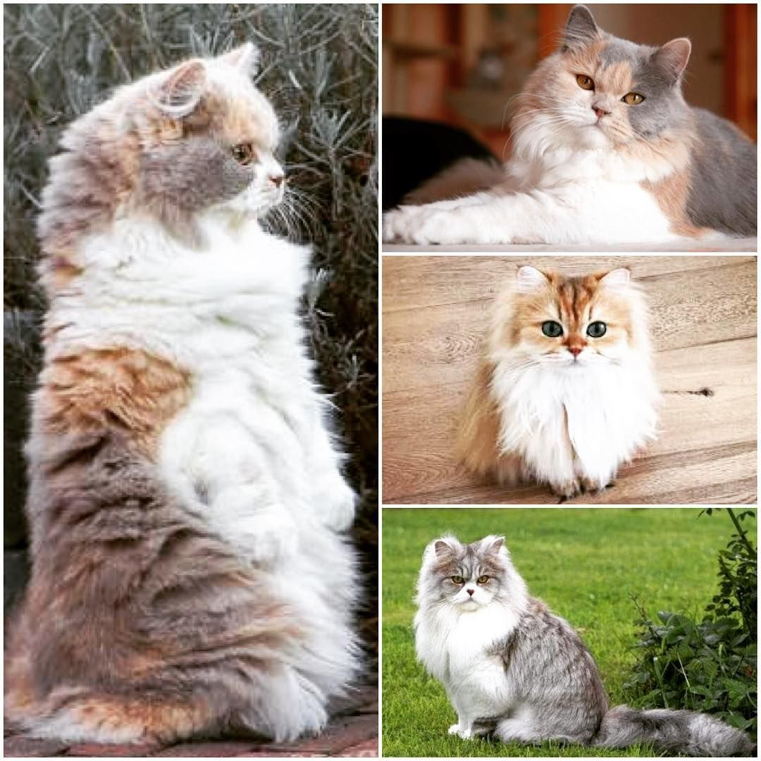 Apart from its coat length, the British Longhair is