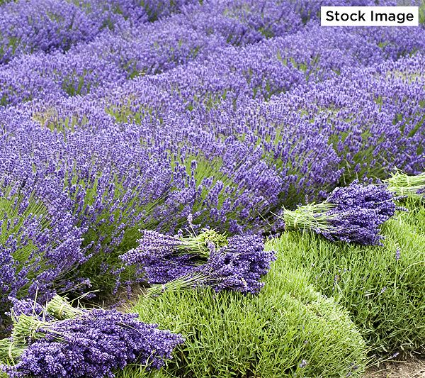 Roberta S 4 Piece Grosso Lavender Collection Qvc Com Plants