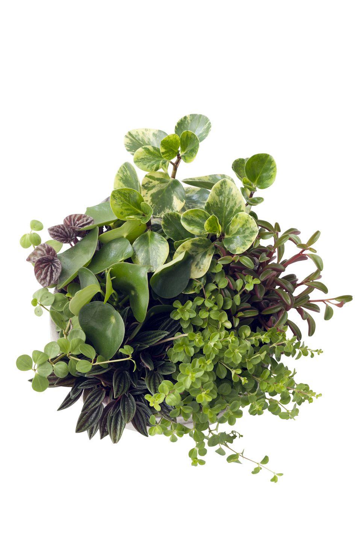 Zwergpfeffer pflanzen des monats april pflanzen blumen pinterest - Pfeffer zimmerpflanze ...