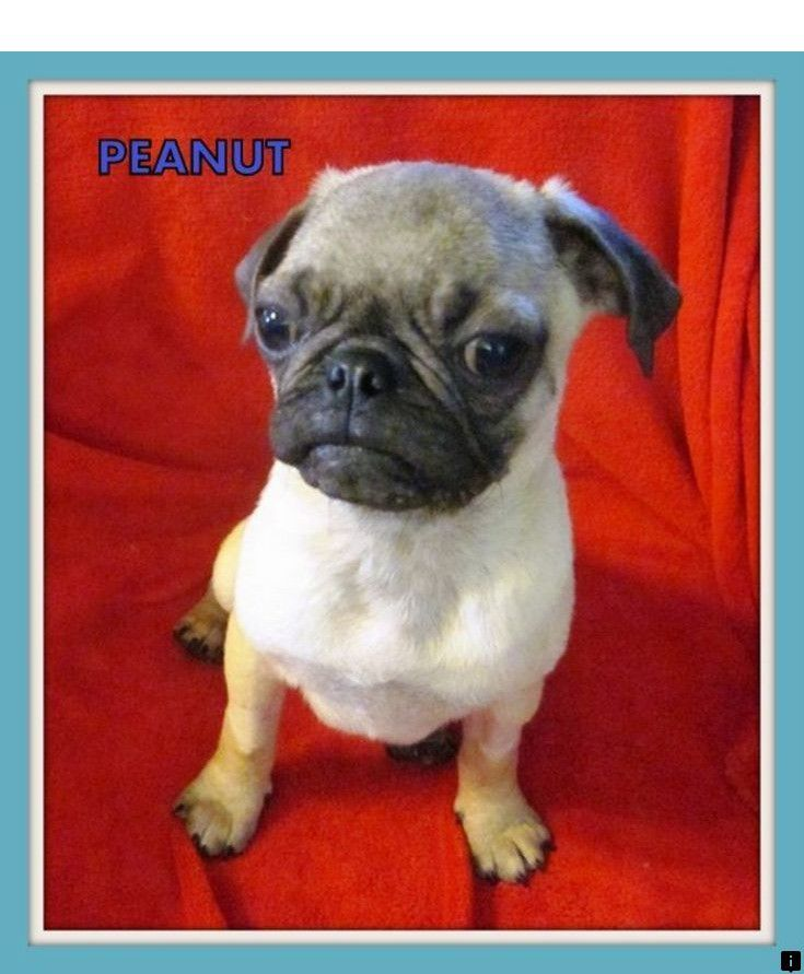 Find Out About Pugs For Sale Near Me Click The Link To Read More