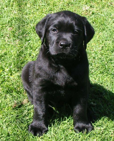 Labrador Retriever Club Of Victoria Inc Australia Labrador