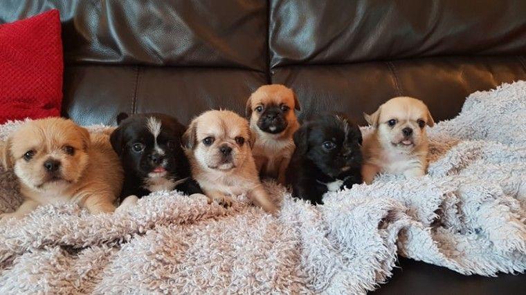 Fuzzy Pugs Pugs Pug Puppies Dogs