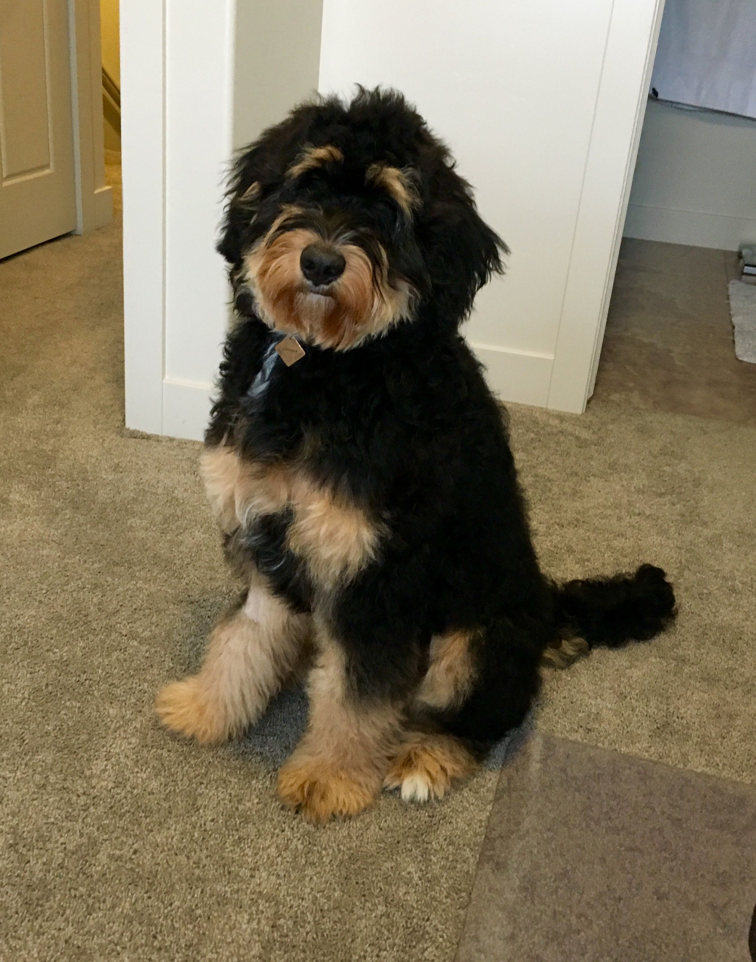 My Fluffy Baby June Female Bernedoodle 7 Months 60