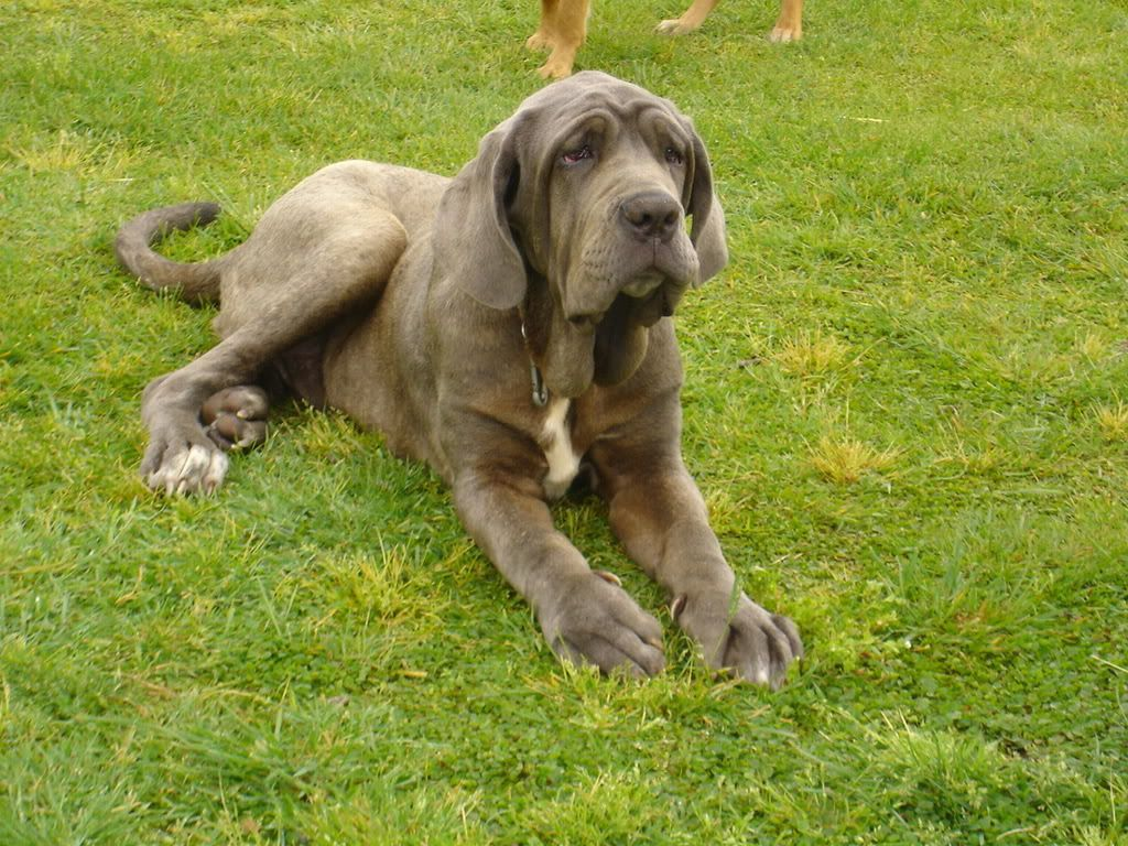 Italian English Animsld: Italian Mastiff -- Want One !