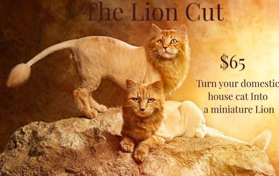 The Main Lion Cat Grooming Salon Paoli Pa Is The First Exclusive