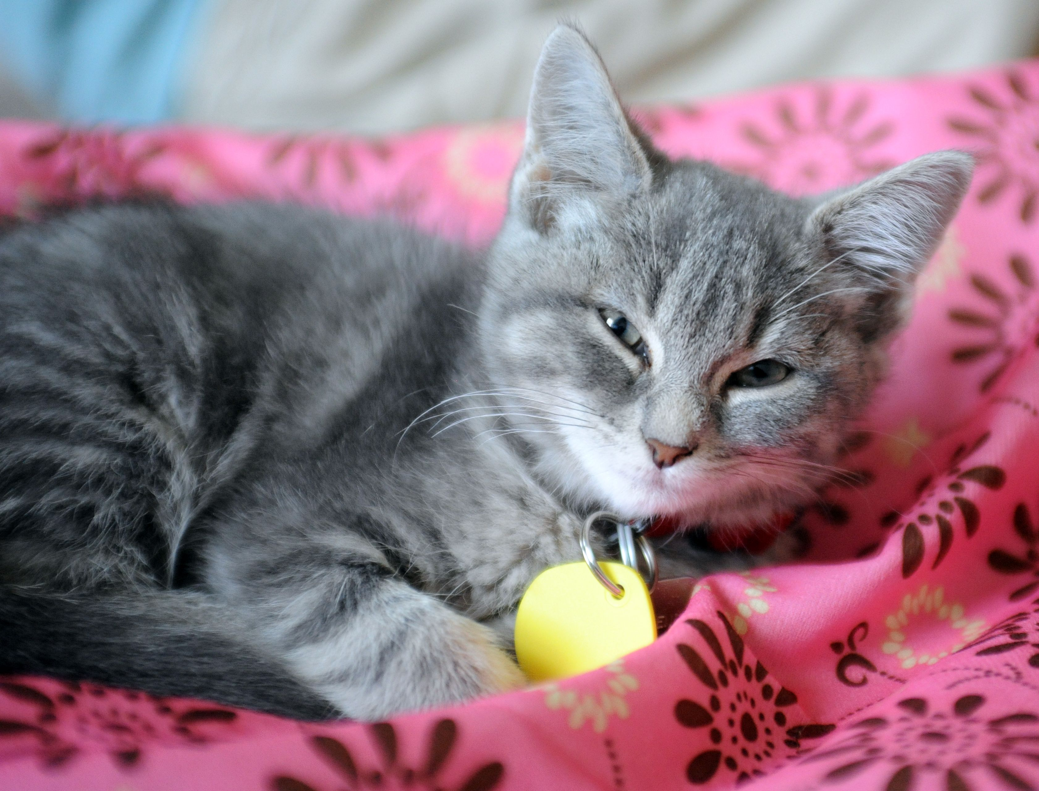 Humane Society discounts cat adoptions through July