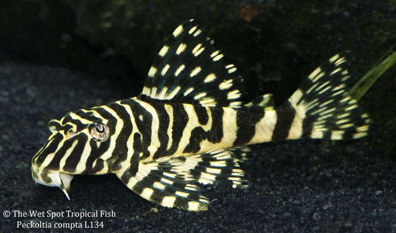 1 2 L134 Leopard Frog Pleco Peckoltia Compta Live Freshwater Tropical Fish Tropical Fish Live Aquarium Fish Fish