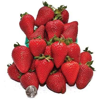 Albion Everbearing Strawberry Day Neutral Everbearing Type It S Known For Its High Yields Of Large To Very Large Fruit The Bea Everbearing Strawberries Fruit