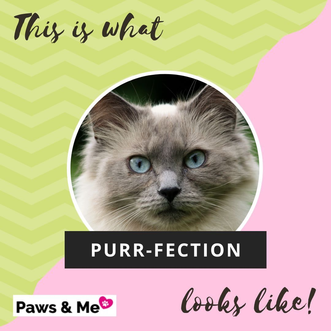 Pawsandme Pet Vet Cats Siberian Cats For Sale