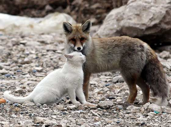 {Cat and Fox = BFFs} wow. amazing photos/friendship!
