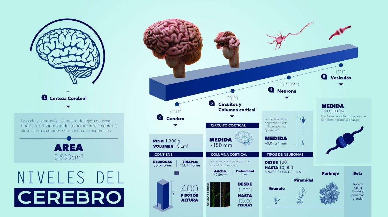 Escalas del cerebro. Infografía diseñada por Andrés Reyes