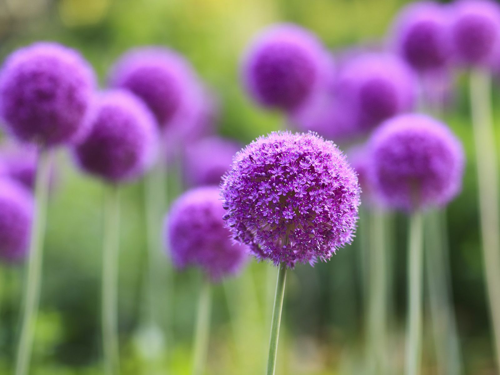 How To Grow Amazing Alliums Allium Flowers Garden Inspiration Planting Flowers